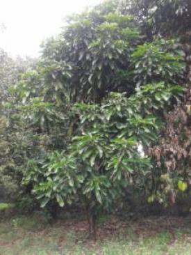 Gambar 1a: pohon Cola acuminata.