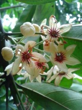 Gambar 1c: bunga Cola acuminata.