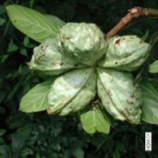 Gambar 2a(1): buah Cola acuminata.