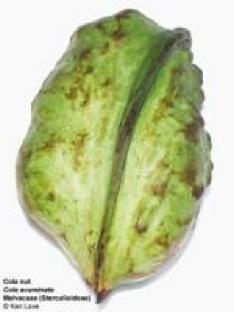 Gambar 2a(2): buah Cola acuminata.