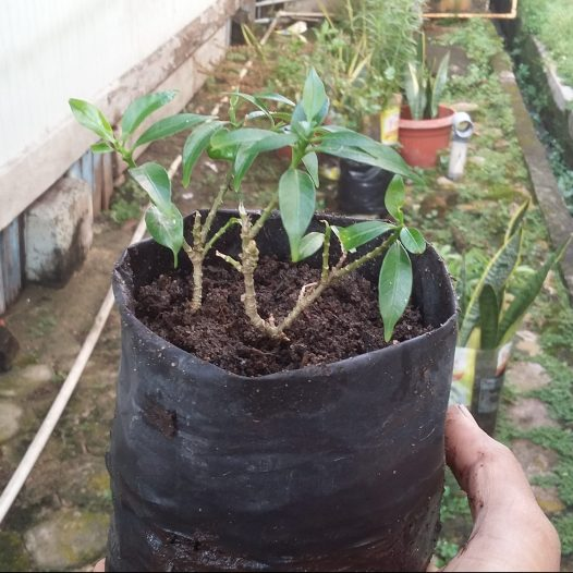 Bibit melati hasil stek batang (foto: Ade/Sayurankita)