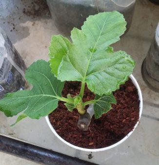 Bibit tin hasil stek batang (foto: Ade/Sayurankita)