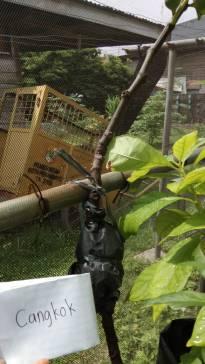"""Cangkok Tin (Foto"""" Afifah/sayurankita)"""