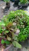 Bayam Batik (arsip Sayurankita)